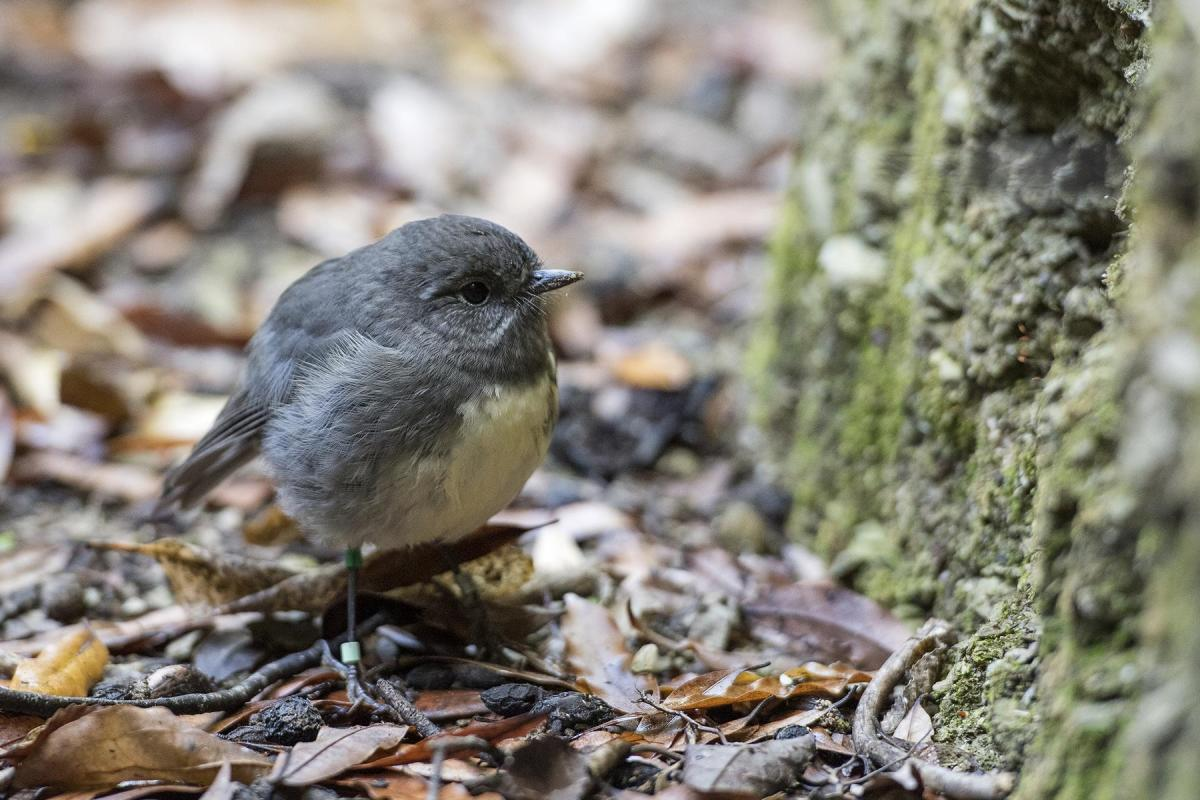 Photo Gallery  - South Island Robin - Photo provided by Rachel Russell, Kaipupu Point Wildlife Sancutary